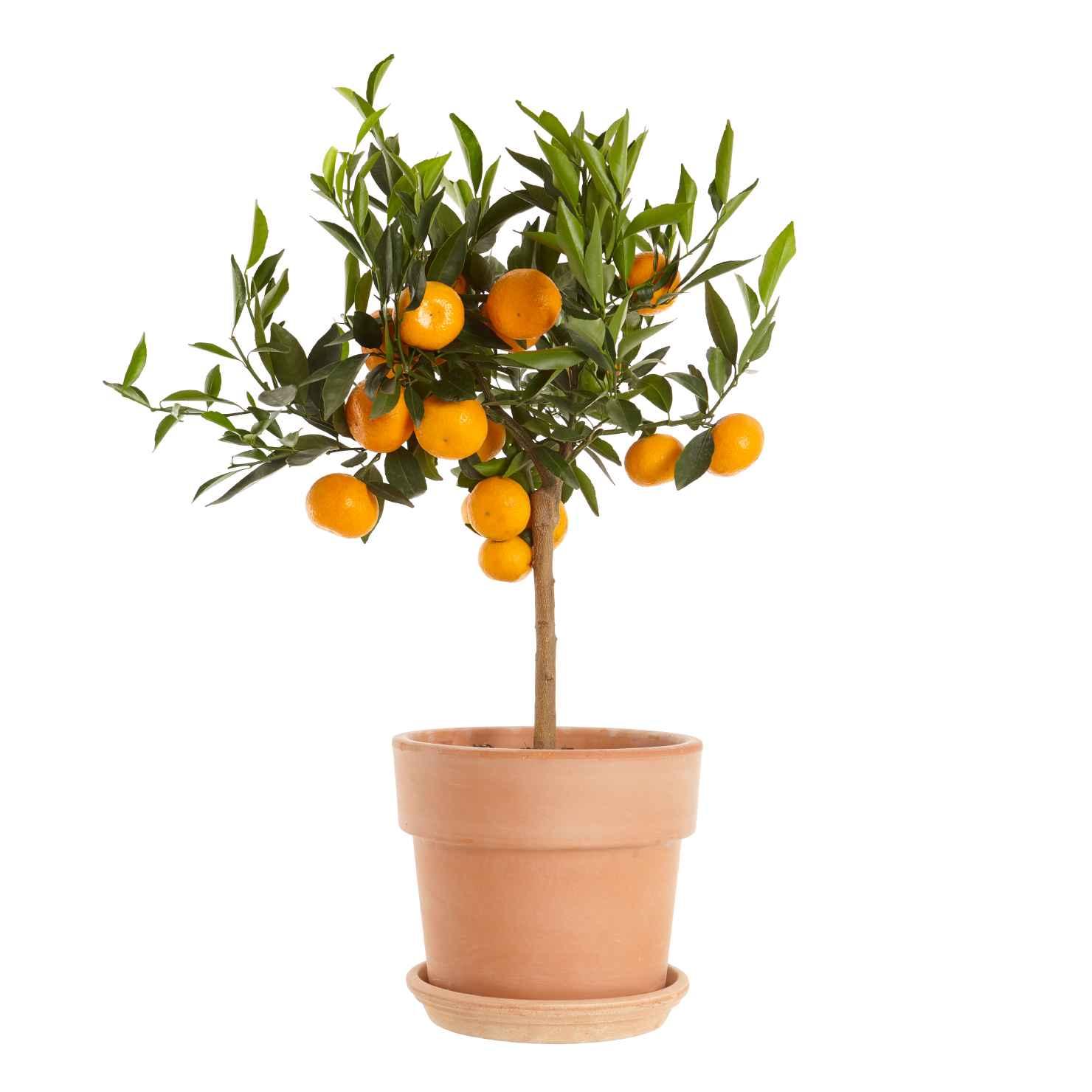 Produktbild på Mandarin