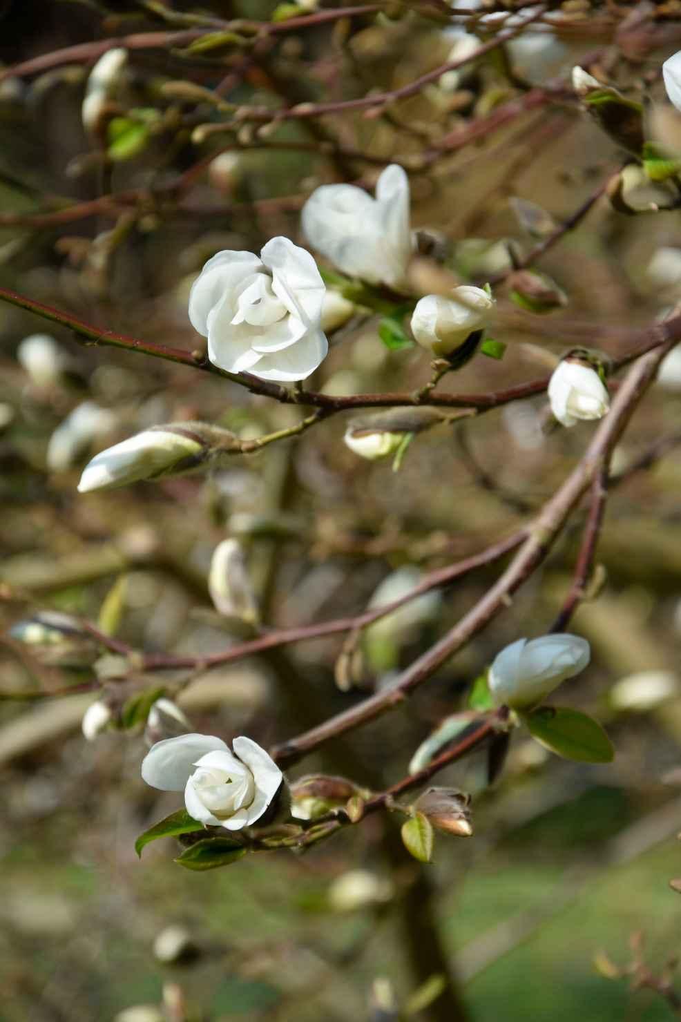 Produktbild på Japansk magnolia