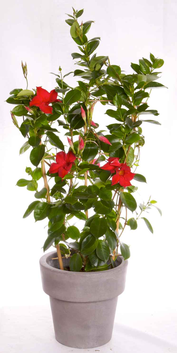 Produktbild på Bägarranka Röd