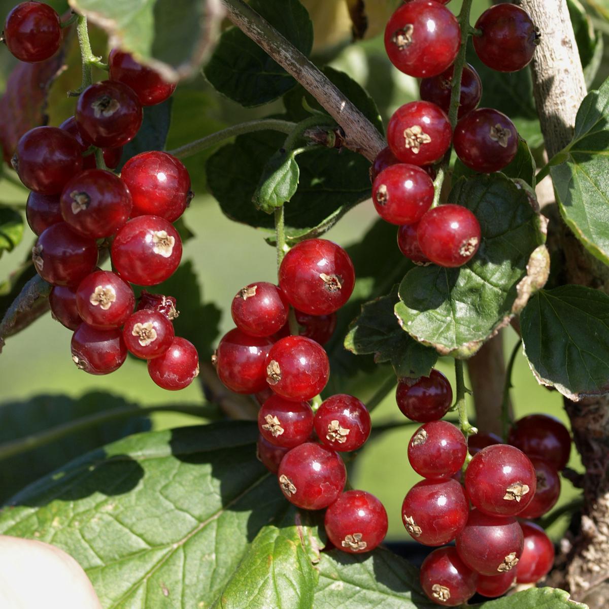 Produktbild på Röda vinbär 'Rovada'