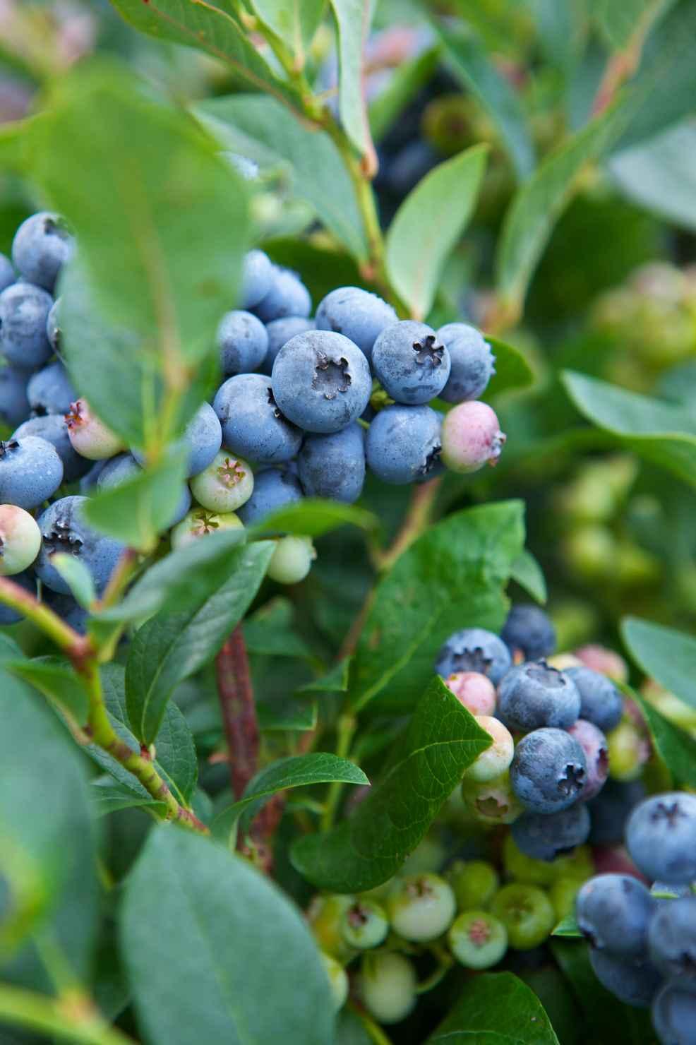 Produktbild på Amerikanskt blåbär 'Olle'