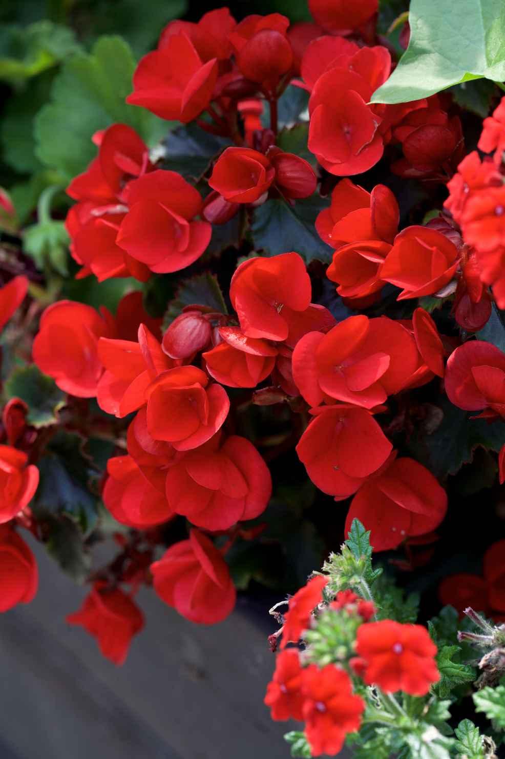 Produktbild på Begonia 'Betulia' röd