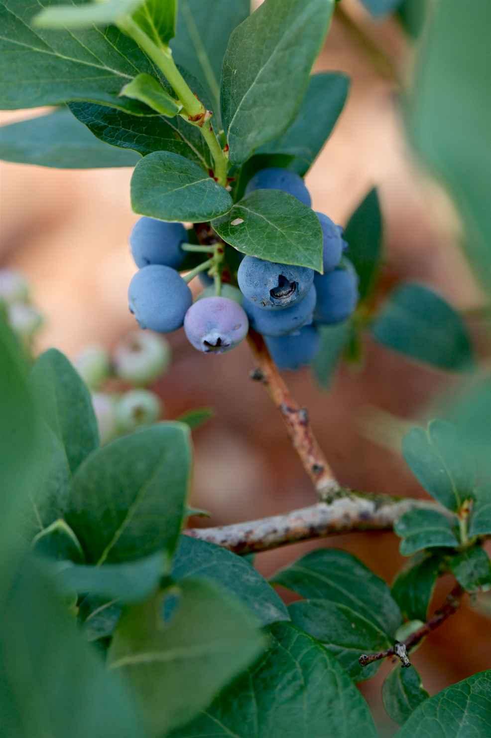 Produktbild på Amerikanskt blåbär 'Brigitta Blue'