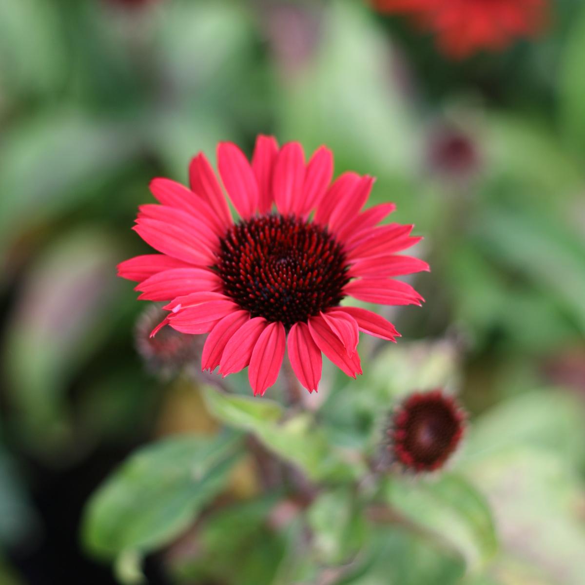 Produktbild på Solhatt (Sunseekers-Serien) SUNSEEKERS RED ('Apecssired')