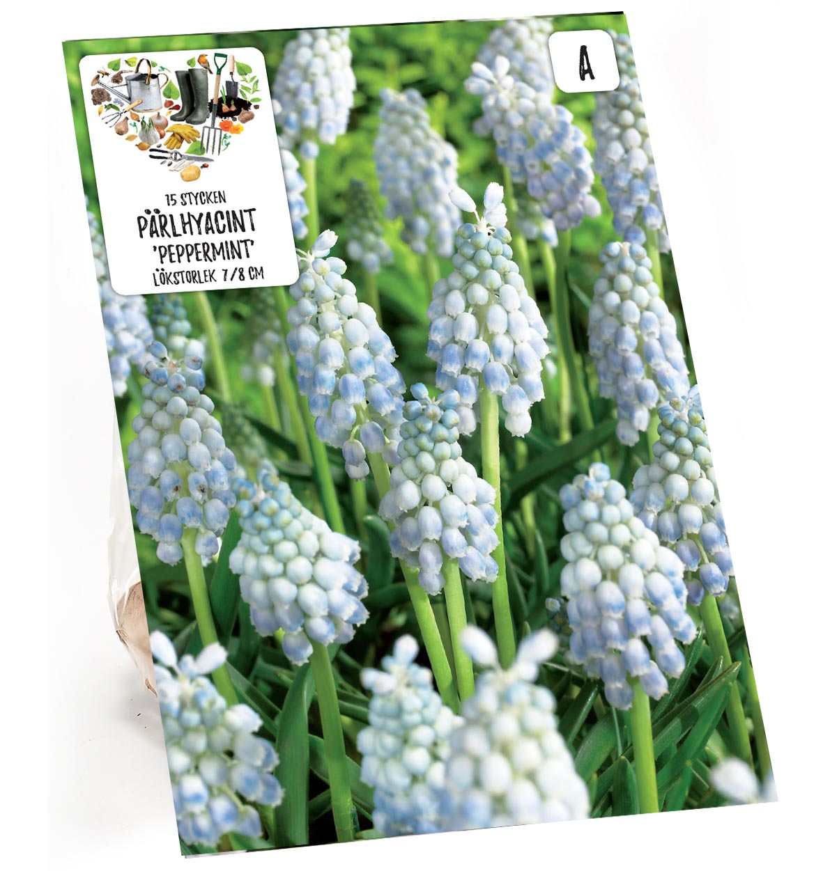 Produktbild på Armenisk pärlhyacint 'Peppermint'