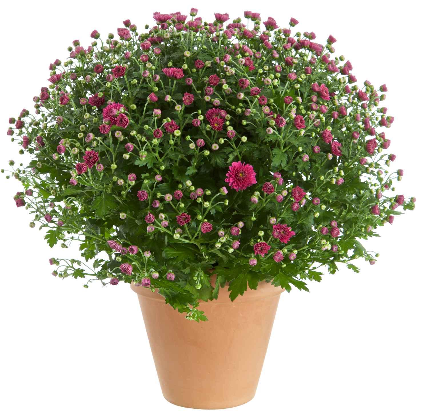 Produktbild på Bollkrysantemum, mörkrosa