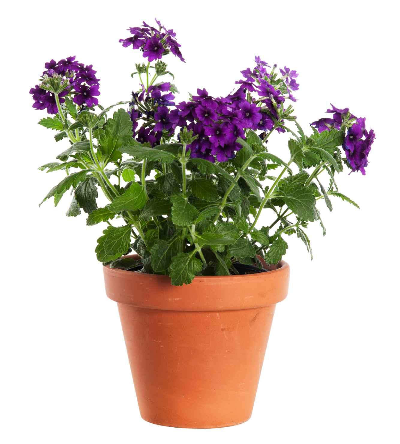Produktbild på Trädgårdsverbena, lila