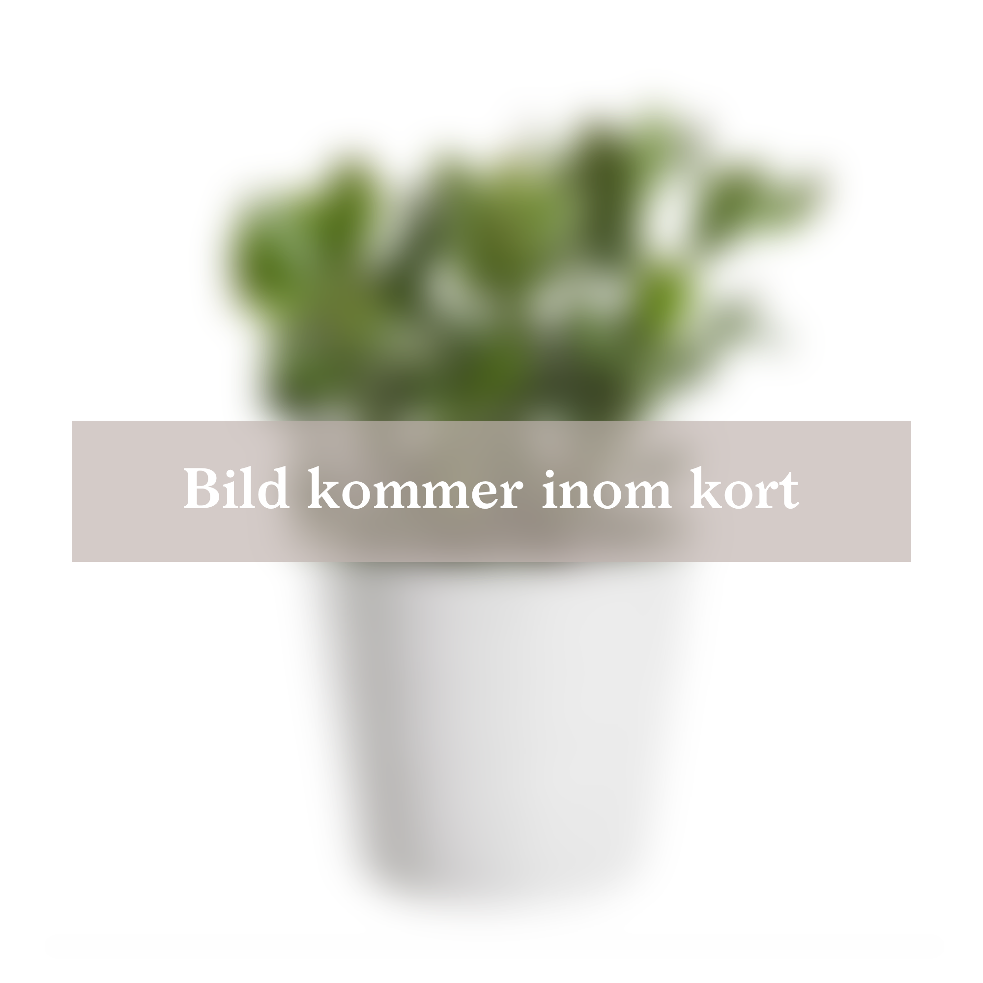 Produktbild på Fönsterfikus 'Tineke'