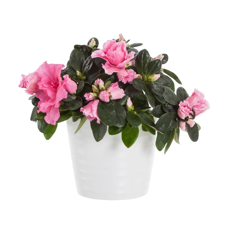 Produktbild på Fönsterazalea, rosa
