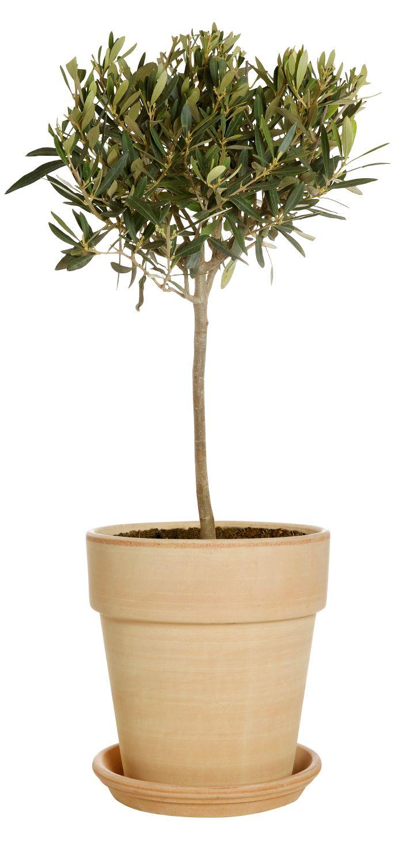 Produktbild på Olivträd