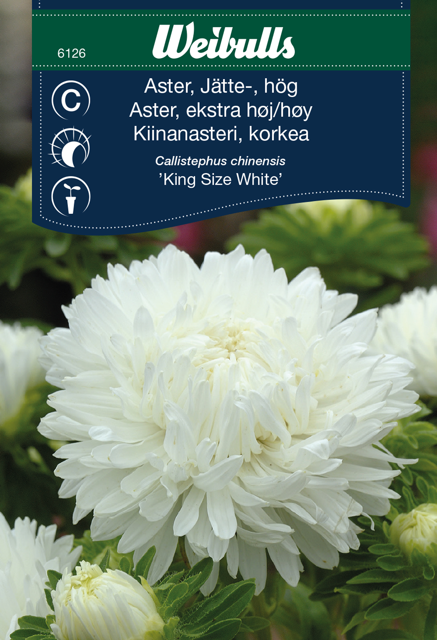 Produktbild på Aster 'King Size White'