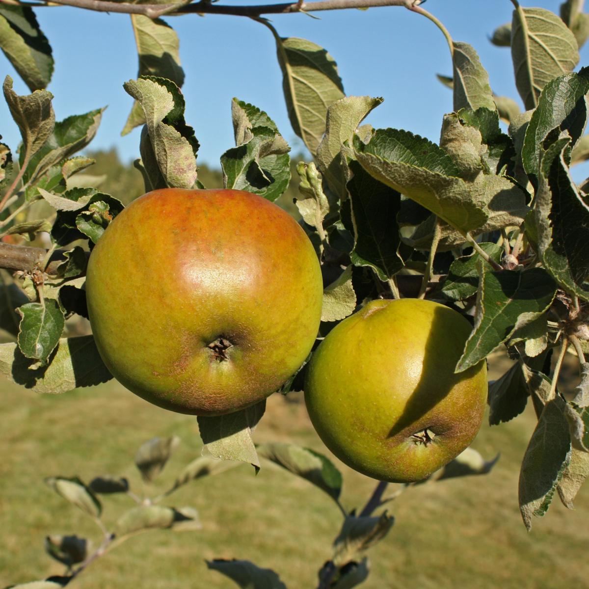Produktbild på Äppleträd RIBSTON ('Ribston Pippin')