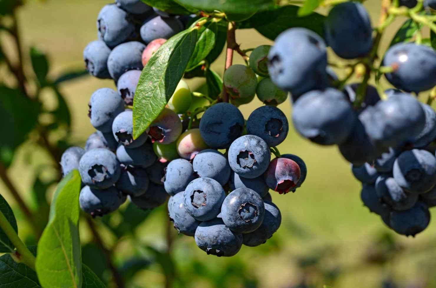 Produktbild på Amerikanskt blåbär 'Duke'