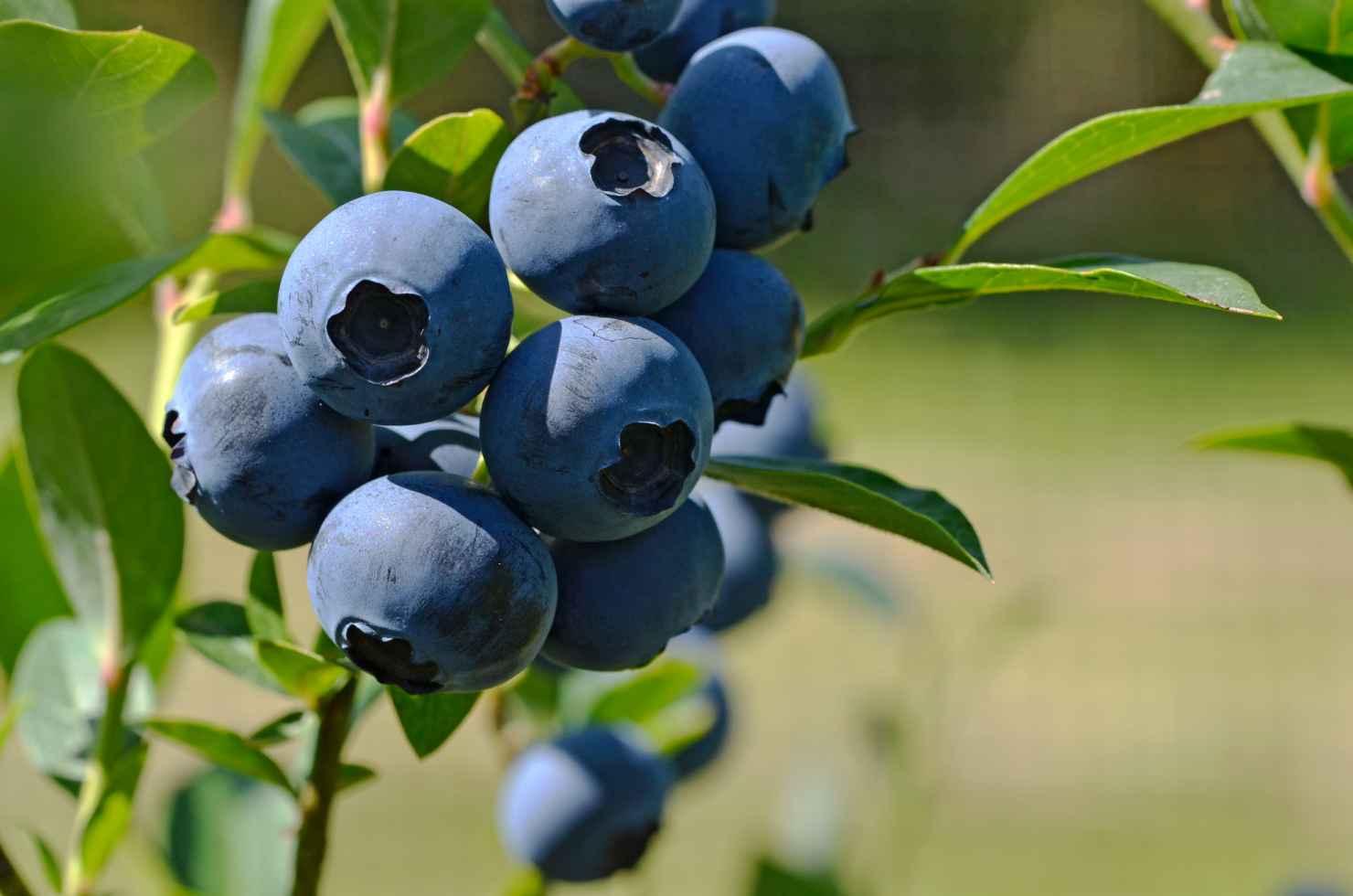 Produktbild på Amerikanskt blåbär 'Reka'