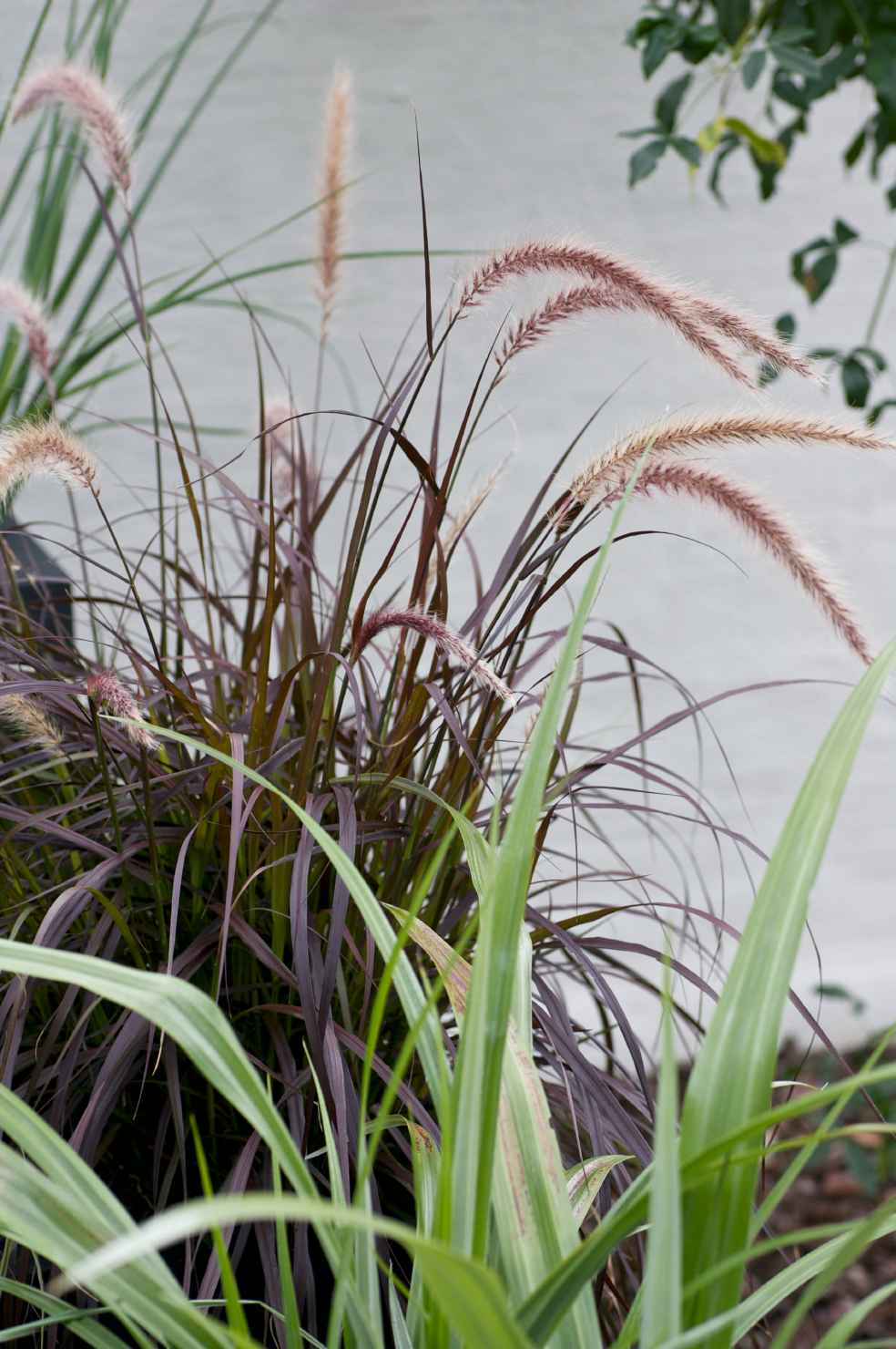 Produktbild på Rött fjäderborstgräs
