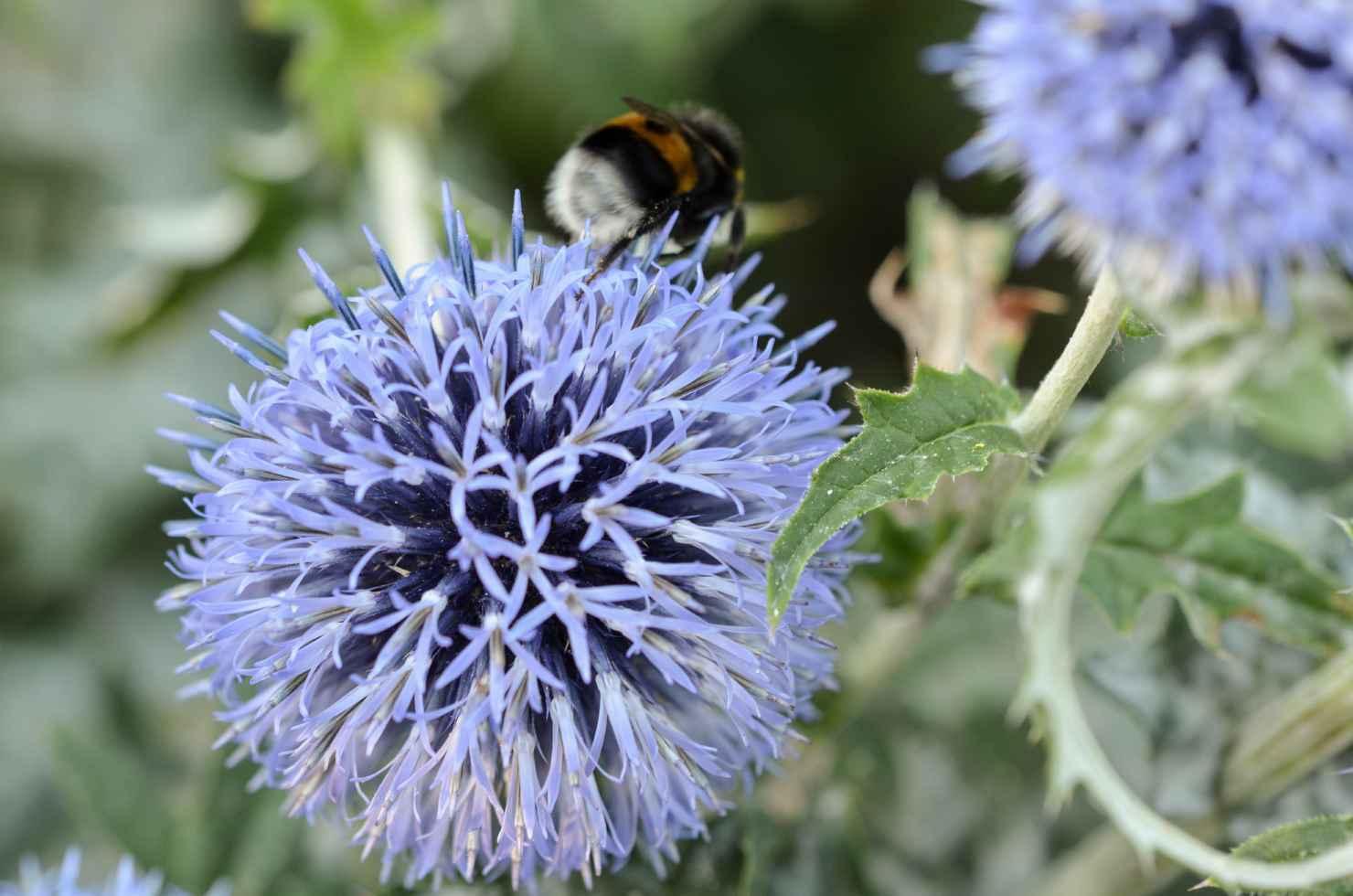 Produktbild på Blå bolltistel 'Veitch's Blue'