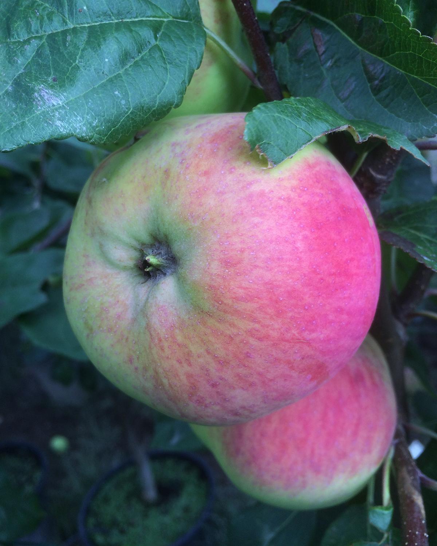 Produktbild på Äppleträd RÖD MELBA ('Melred')