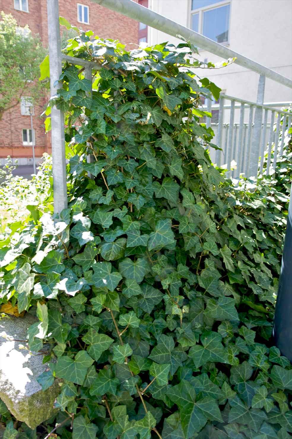 Produktbild på Storbladig murgröna