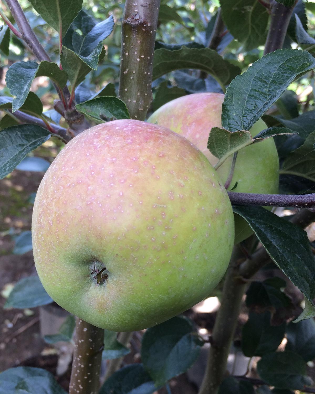 Produktbild 3 på Äppleträd