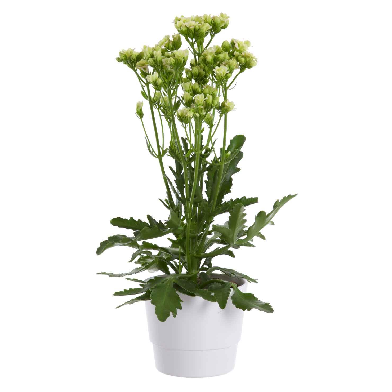 Produktbild på Kalankoe 'Sunny White'