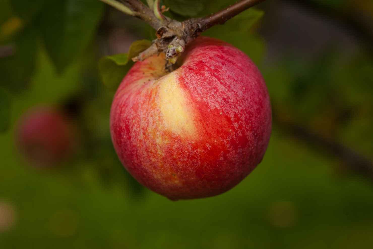 Produktbild på Äppleträd