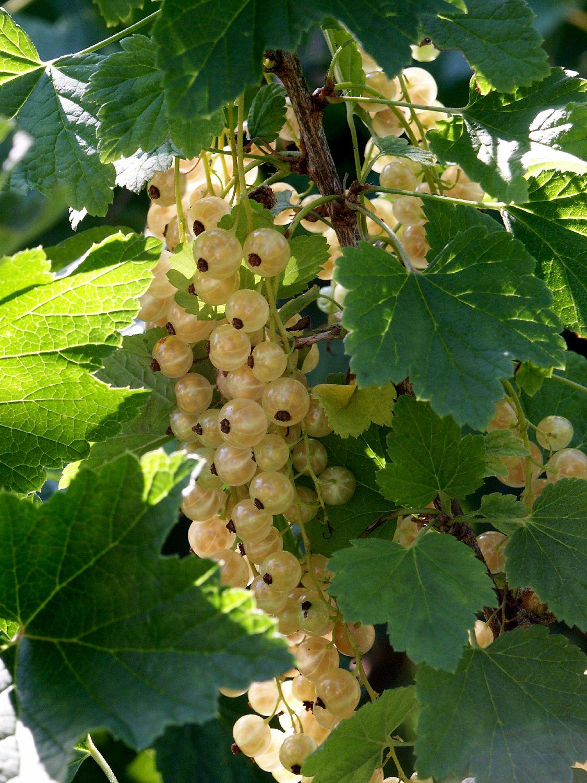Produktbild på Vita vinbär 'Werdavia'