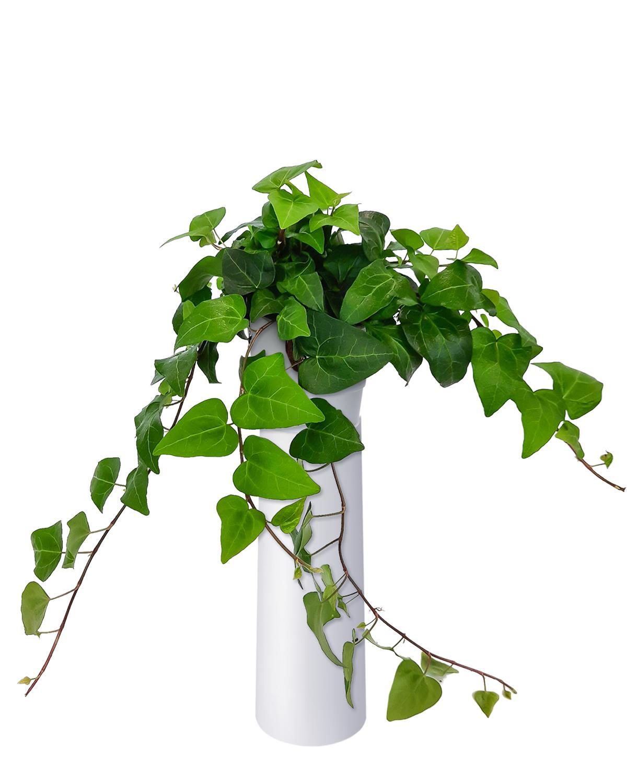 Produktbild på Murgröna 'Mein Herz'