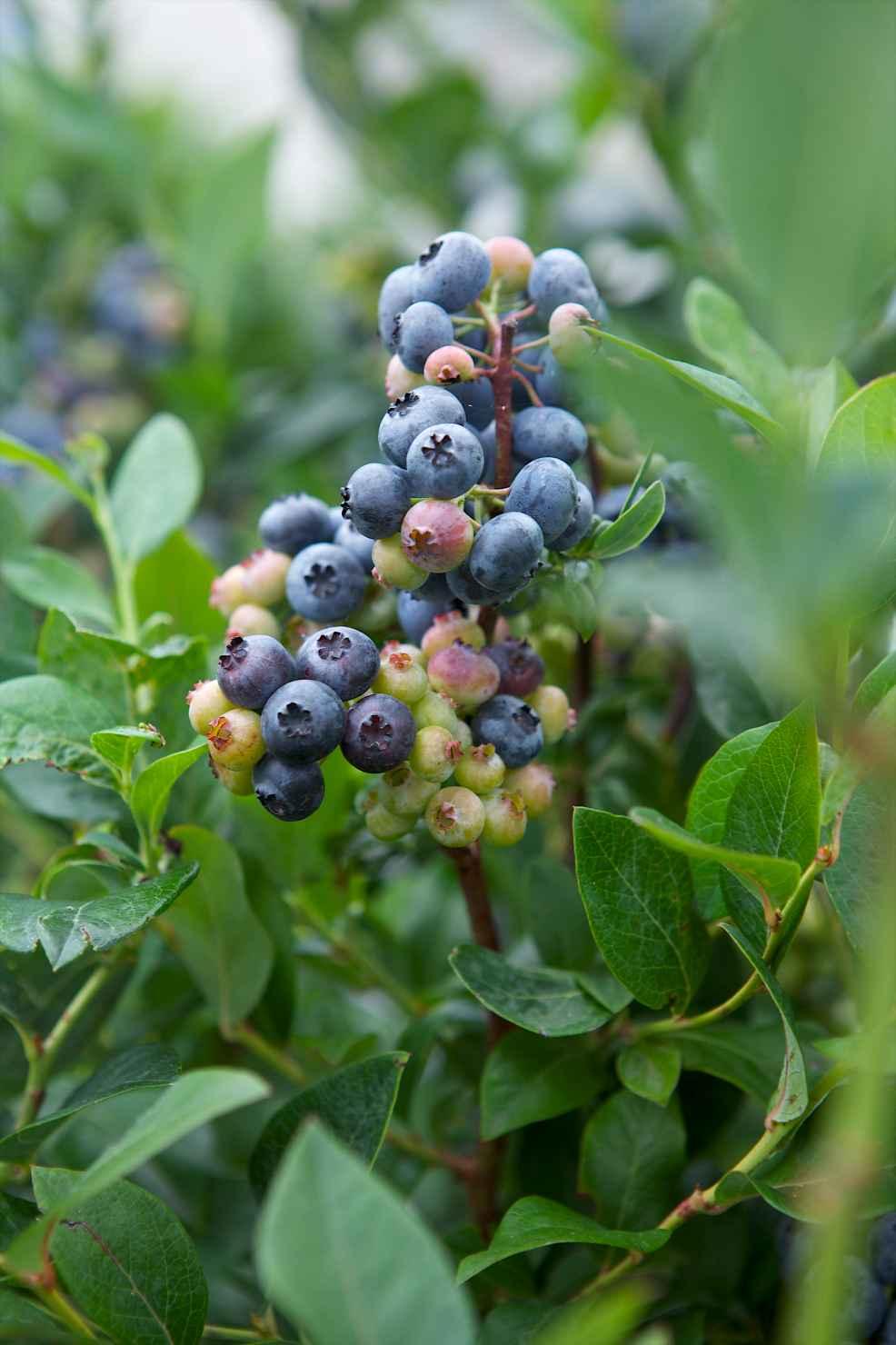 Produktbild på Amerikanskt blåbär 'Meader'