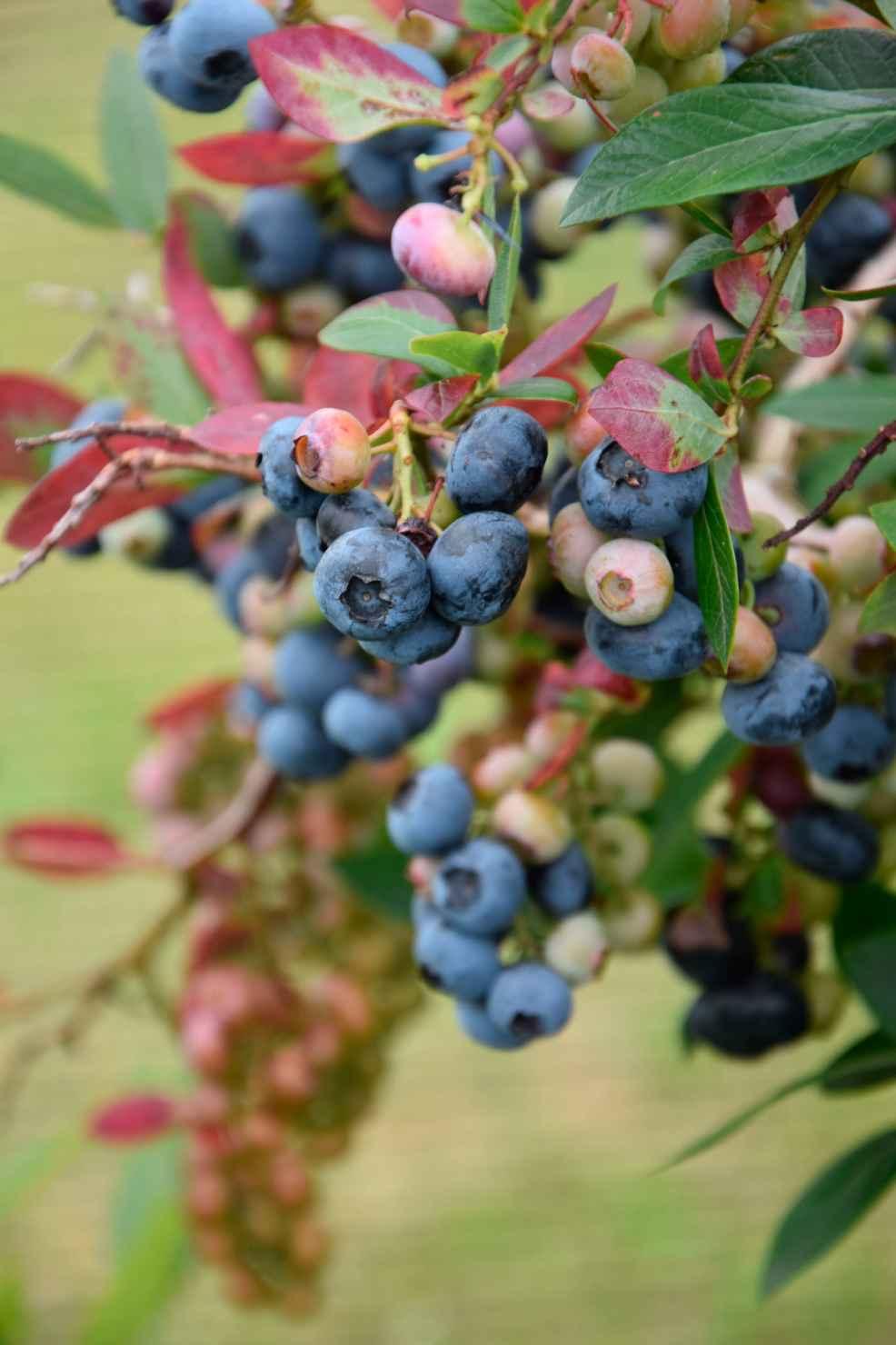 Produktbild på Amerikanskt blåbär 'Elizabeth'