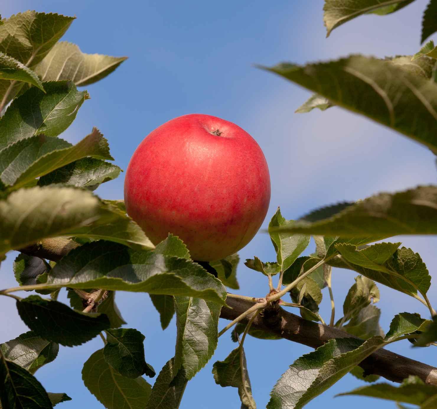 Produktbild på Äppleträd AGNES ('SLUBGD1377')