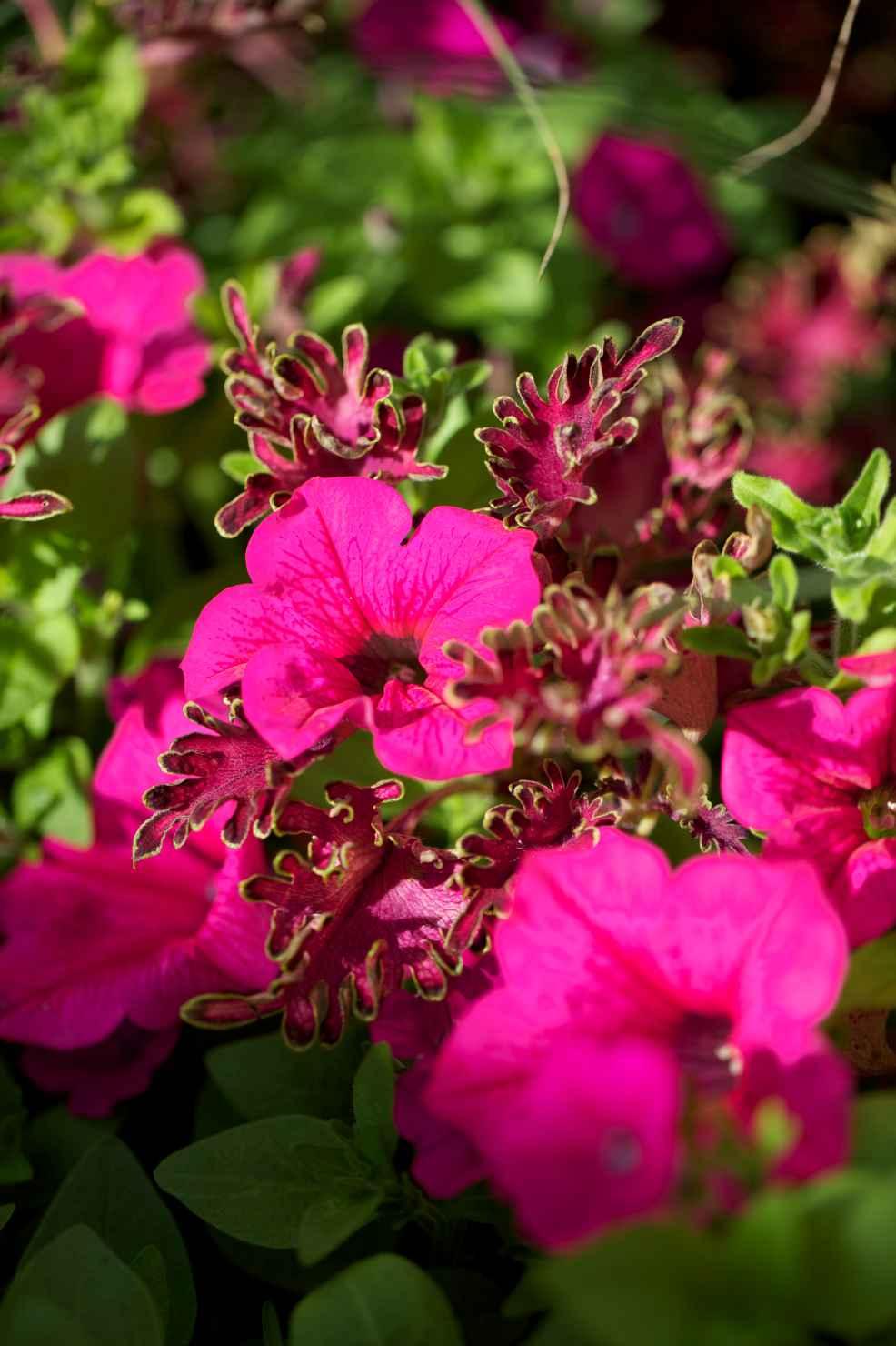 Produktbild på Petunia (Surfinia-Serien), rosa