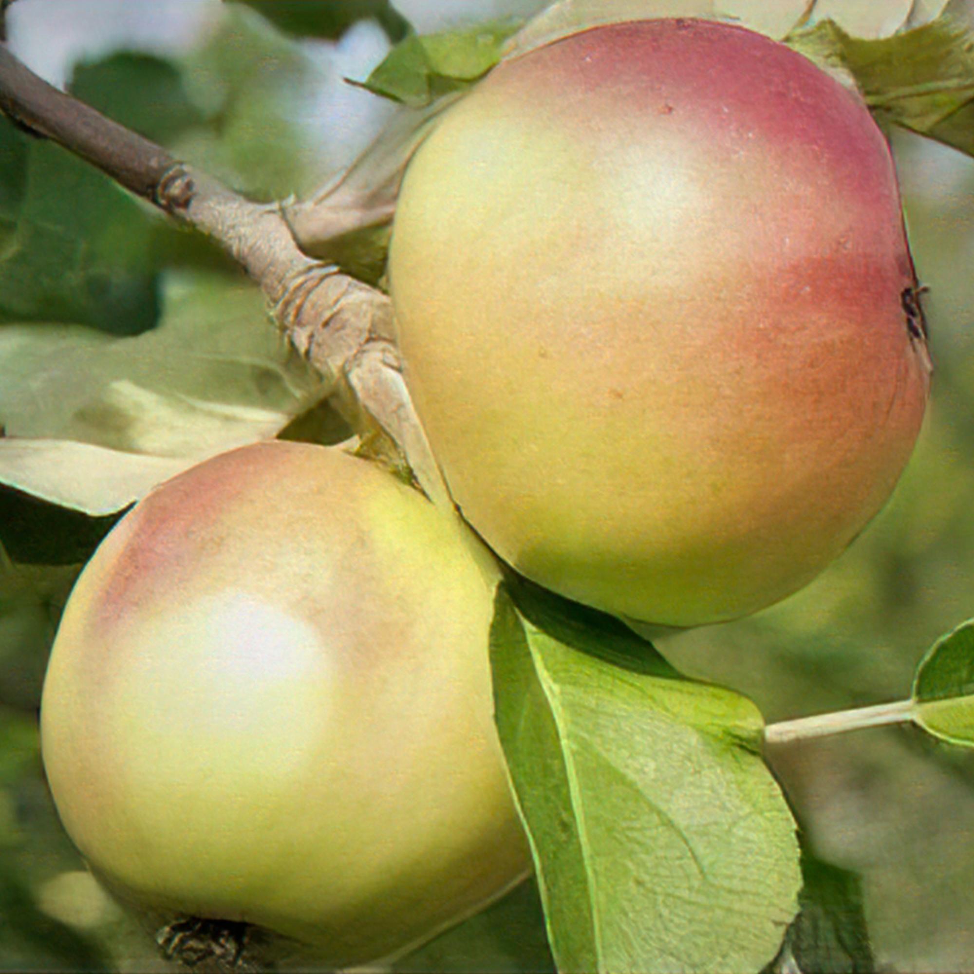 Produktbild på Äppleträd 'Gyllenkroks Astrakan'