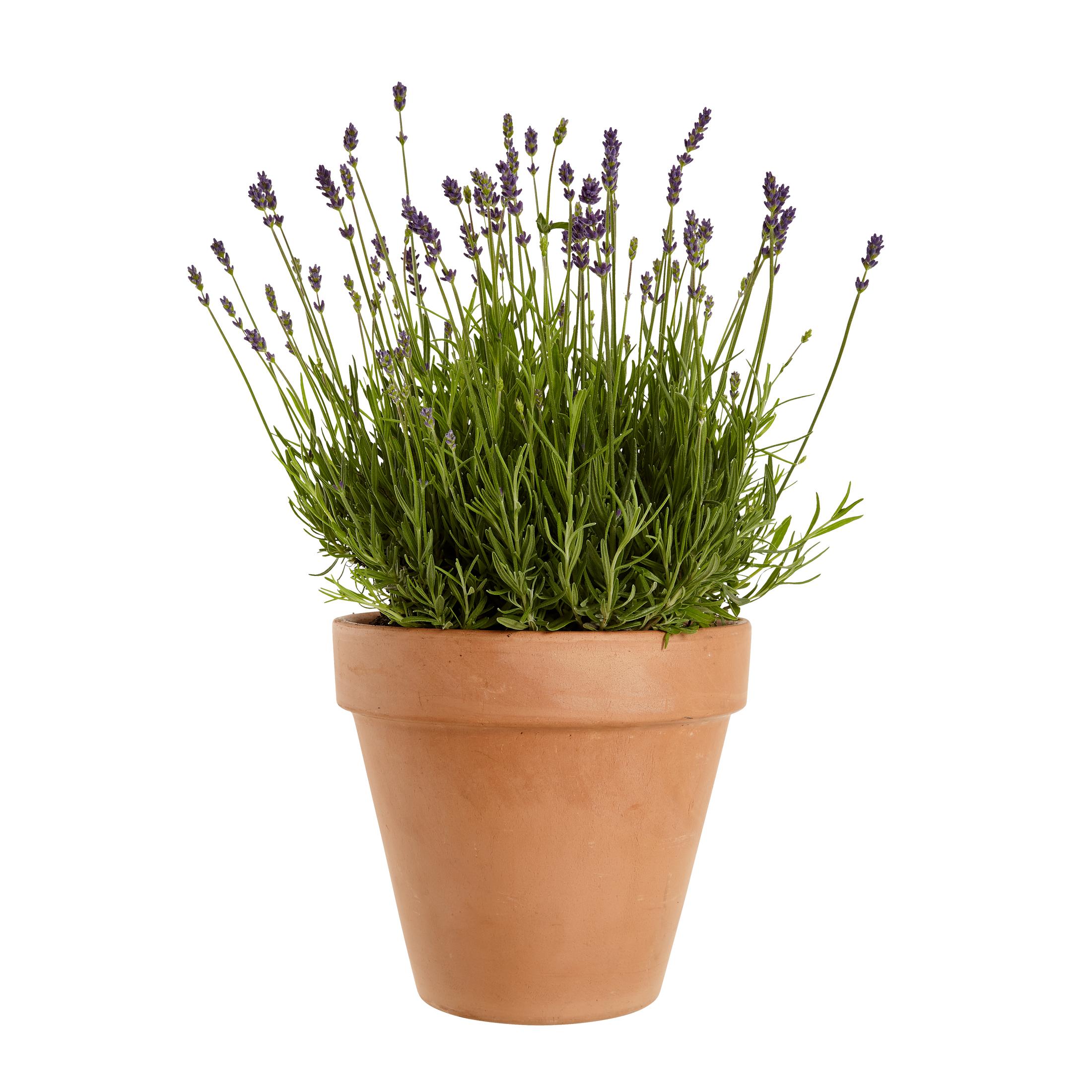 Produktbild på Lavendel 'Hidcote'