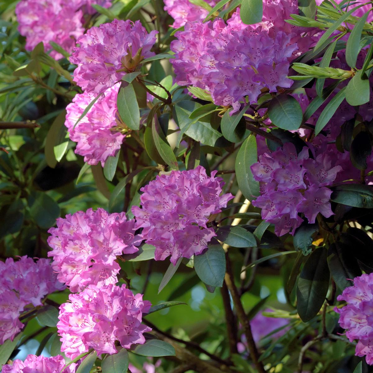 Produktbild på Parkrododendron 'English Roseum'