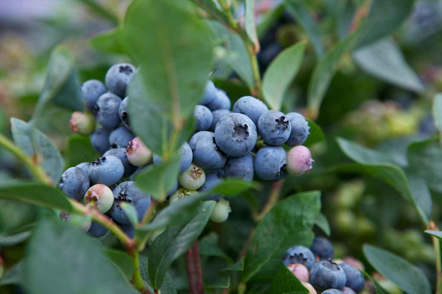 Produktbild på Amerikanskt blåbär 'Sierra'