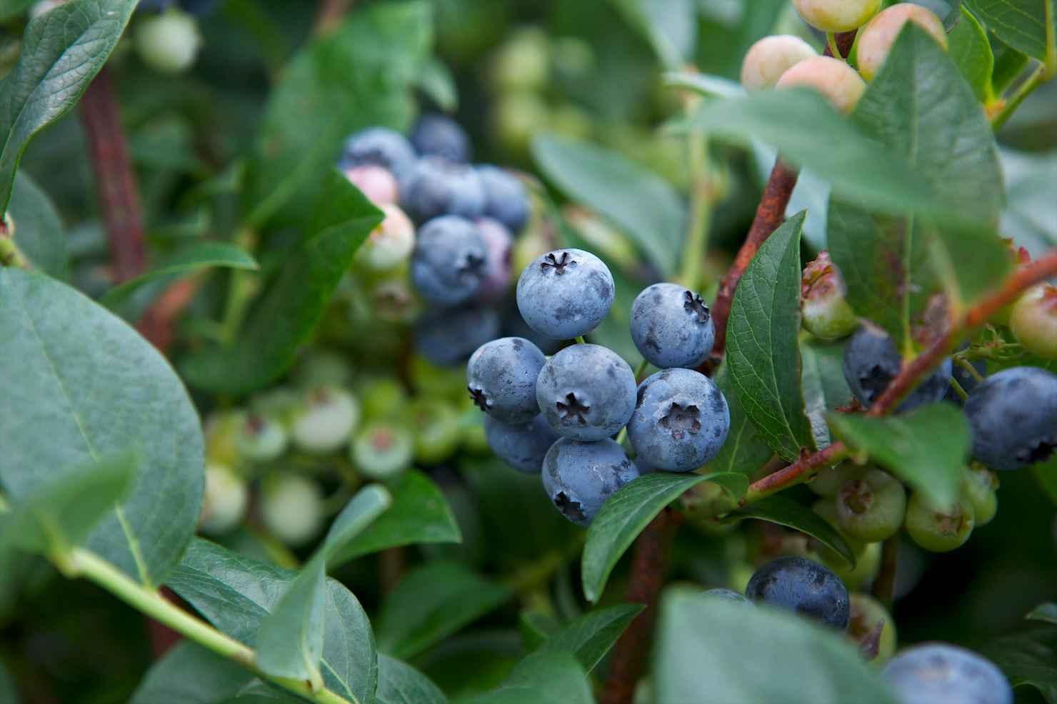 Produktbild på Amerikanskt blåbär 'Toro'
