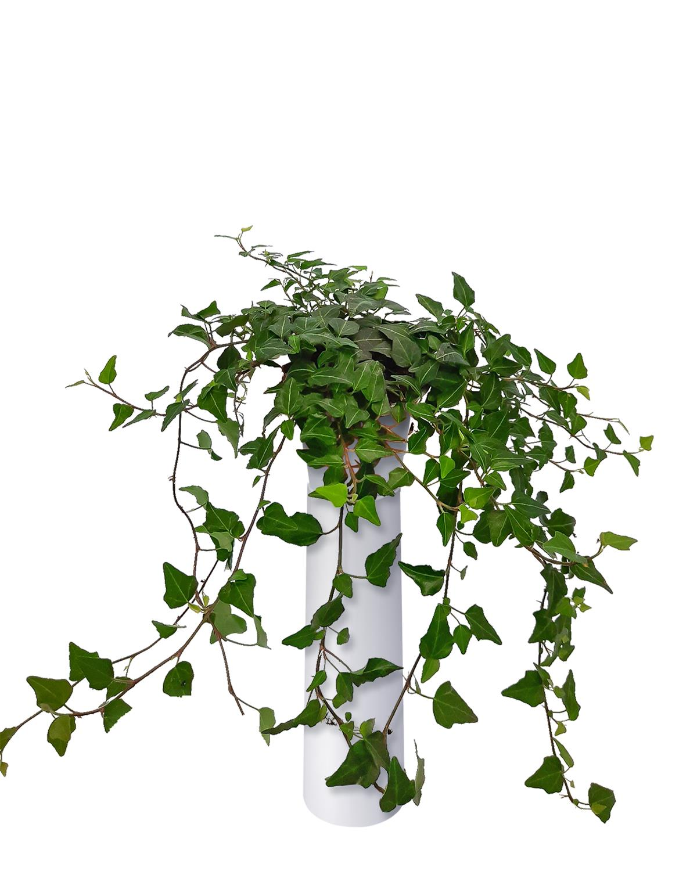 Produktbild på Murgröna 'Lady Kay'