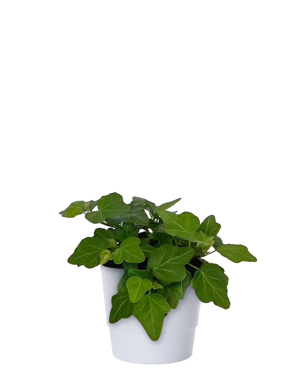 Produktbild på Murgröna 'Mini Wonder'