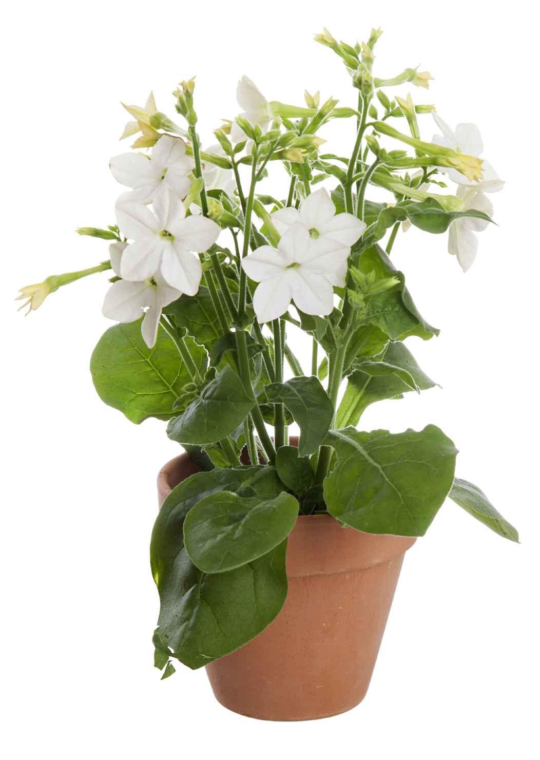 Produktbild på Blomstertobak, Vit