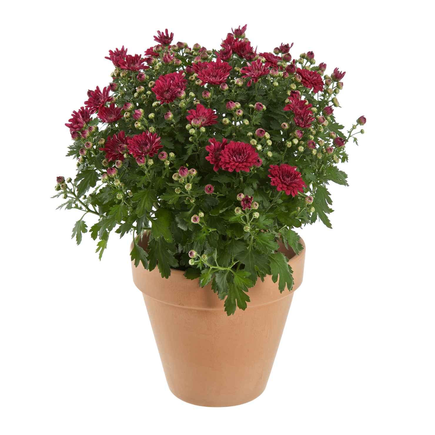 Produktbild på Bollkrysantemum, röd