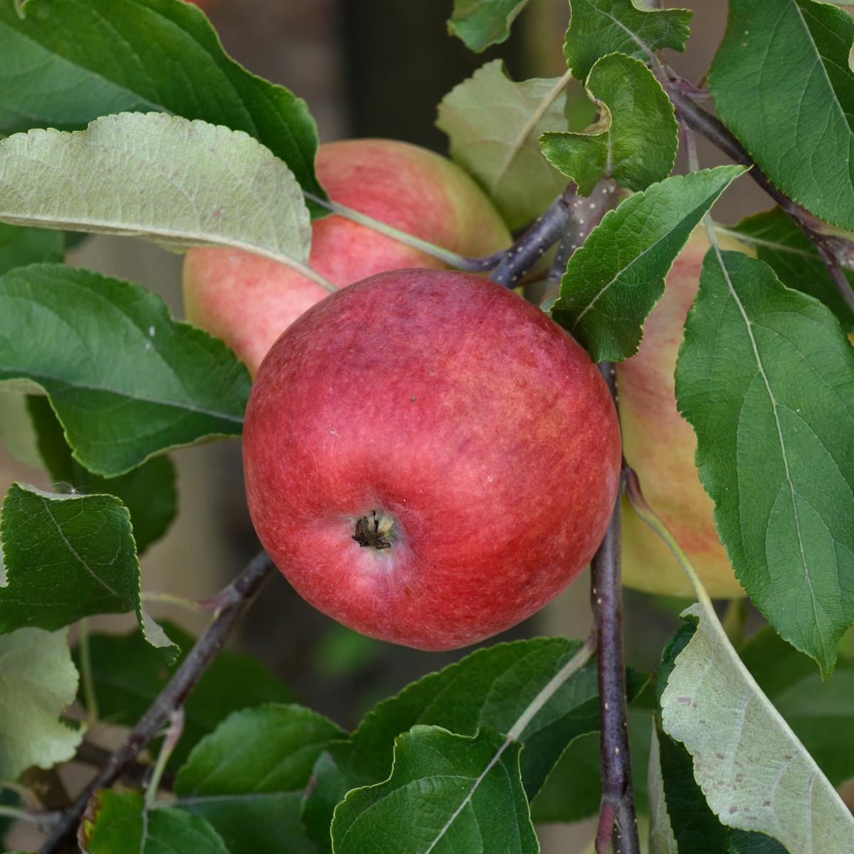 Produktbild på Äppleträd 'Nanna'