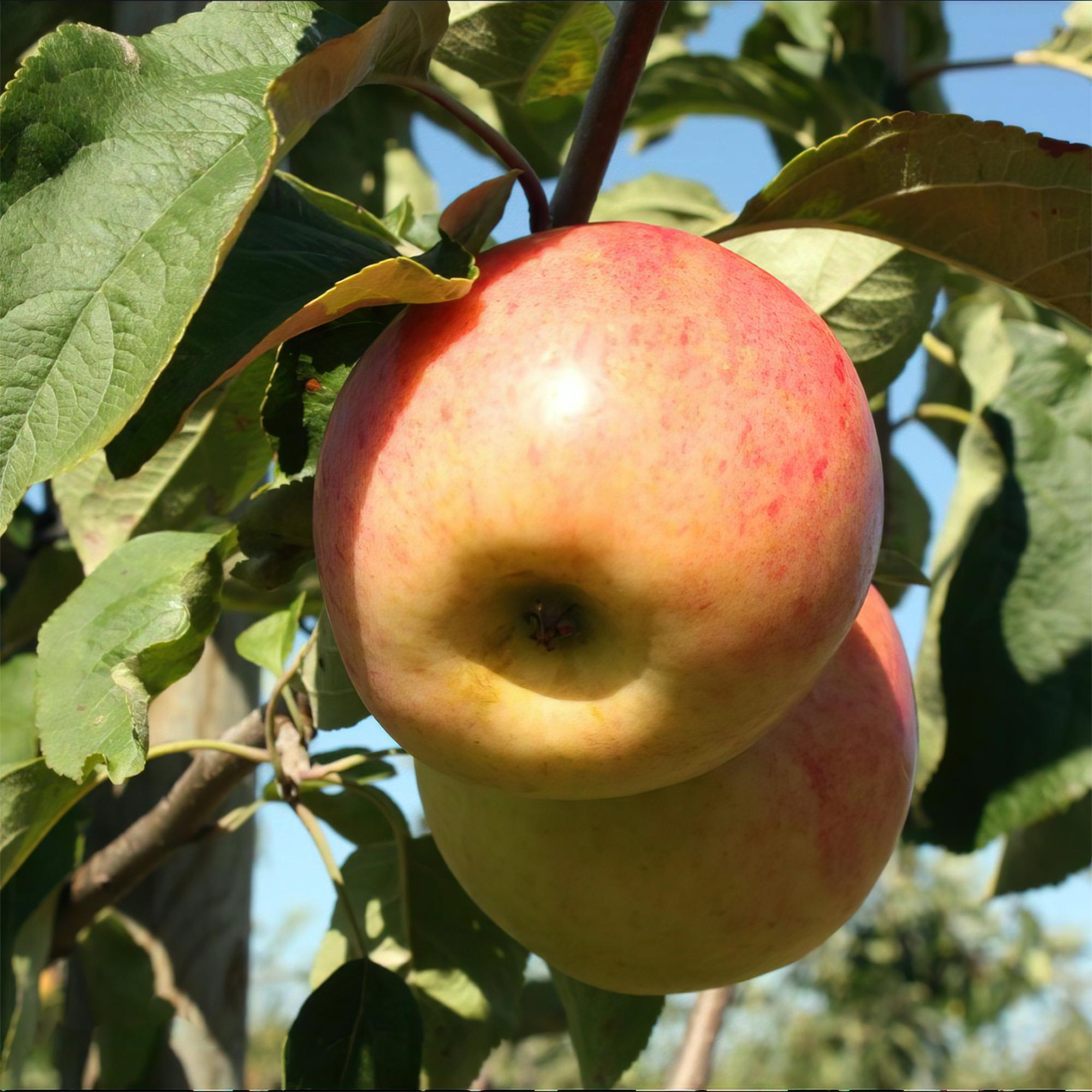 Produktbild på Äppleträd 'Sävstaholm'