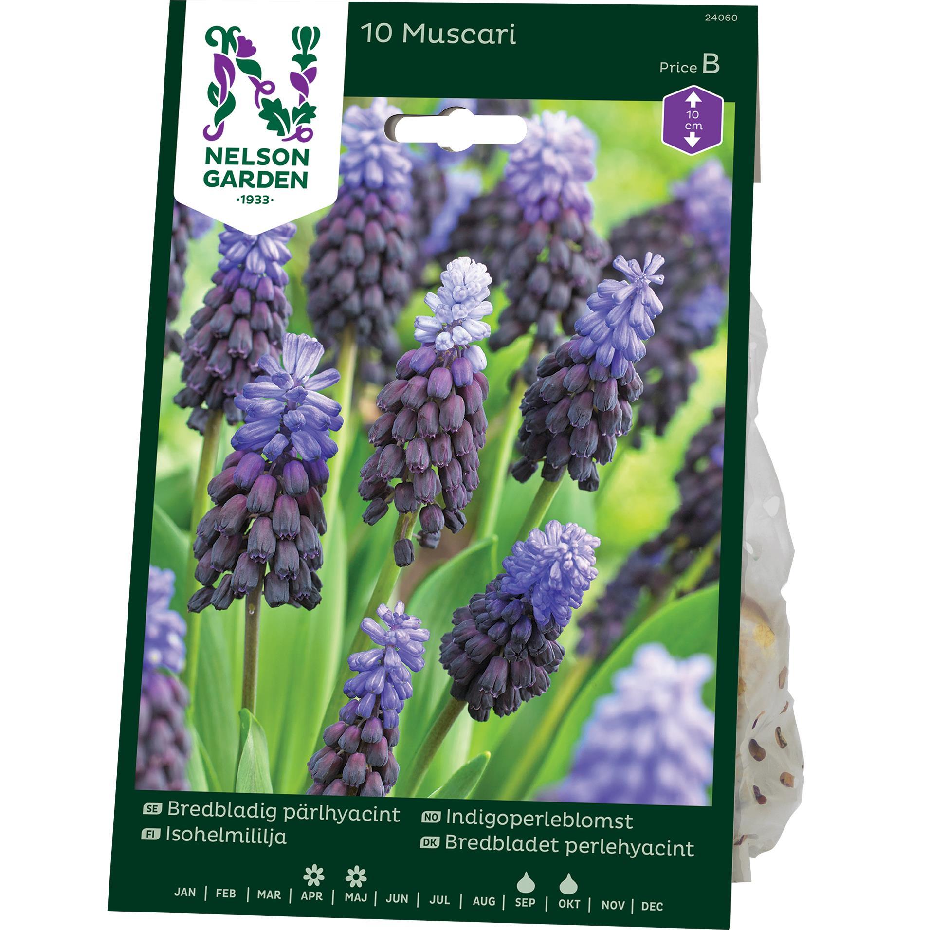 Produktbild på Bredbladig pärlhyacint