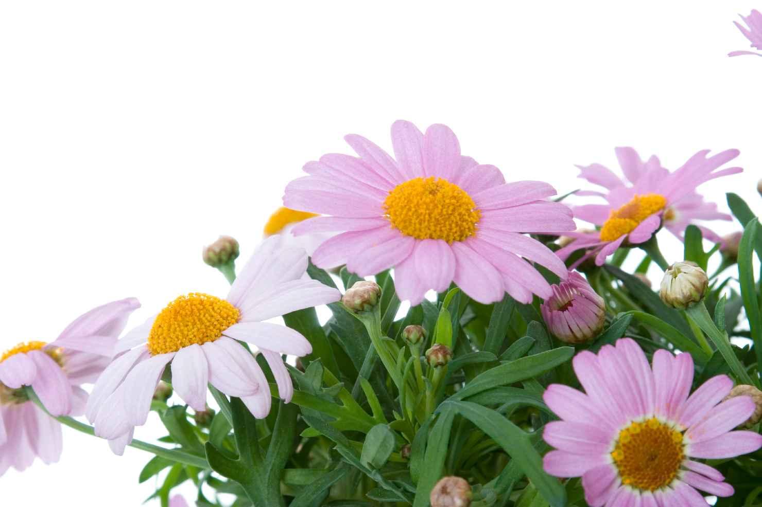 Produktbild på Buskmargerit storblommig rosa