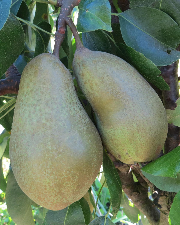 Produktbild på Päronträd 'Anna'