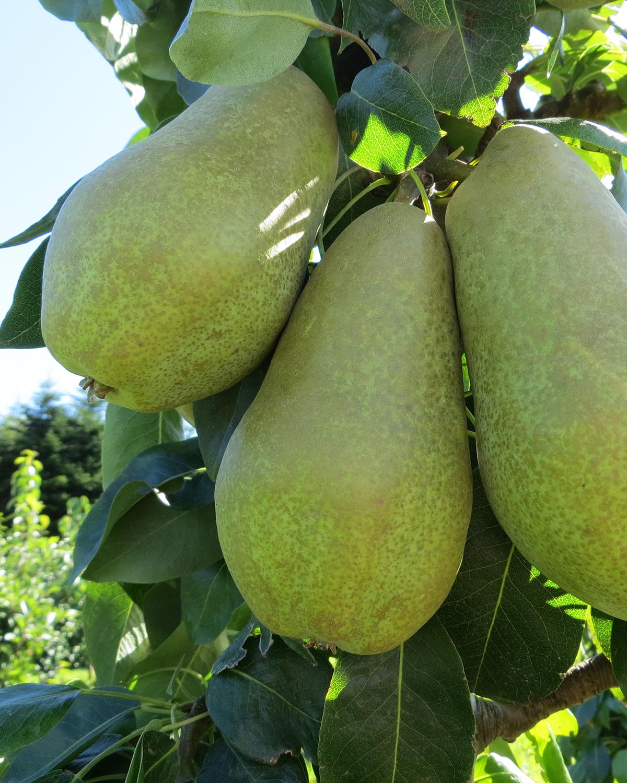 Produktbild 2 på Päronträd