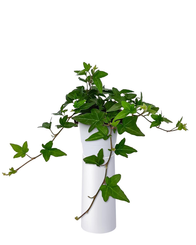 Produktbild på Murgröna 'Shamrock'