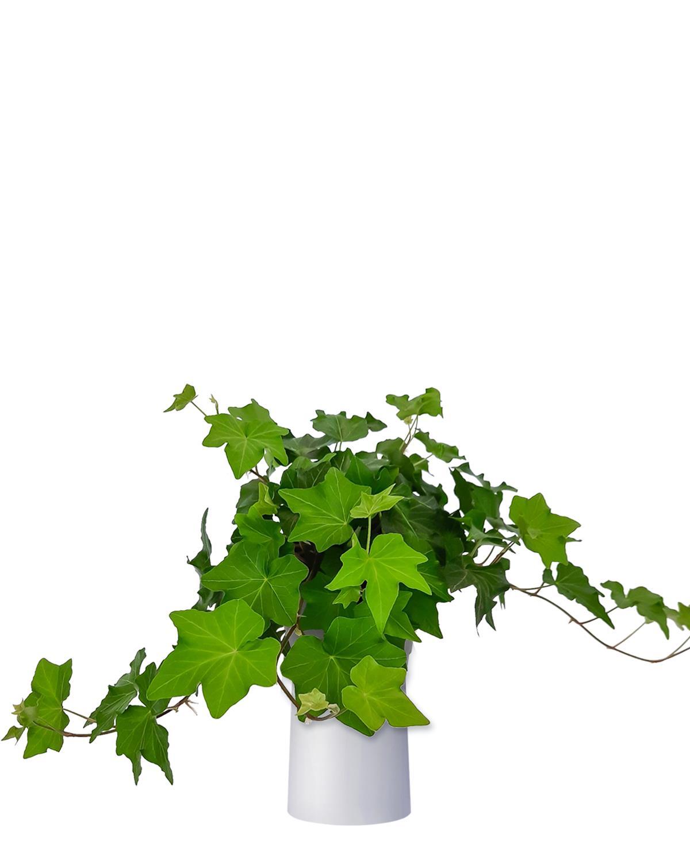 Produktbild på Murgröna 'Brigitte'