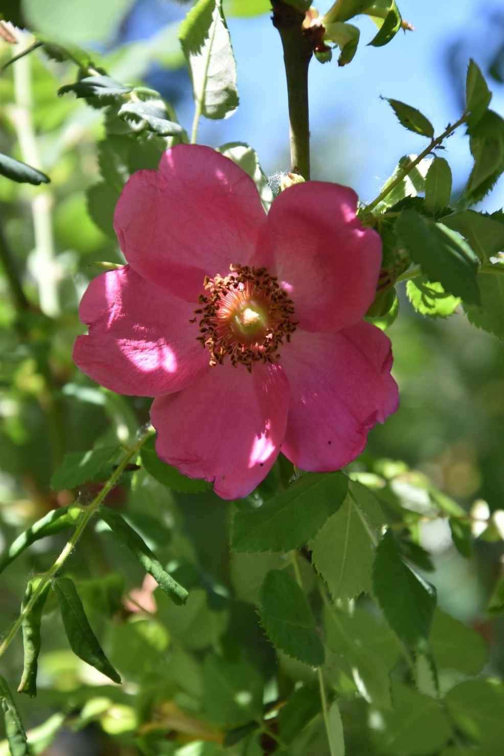 Produktbild på Moyesii-ros 'Marguerite Hilling'