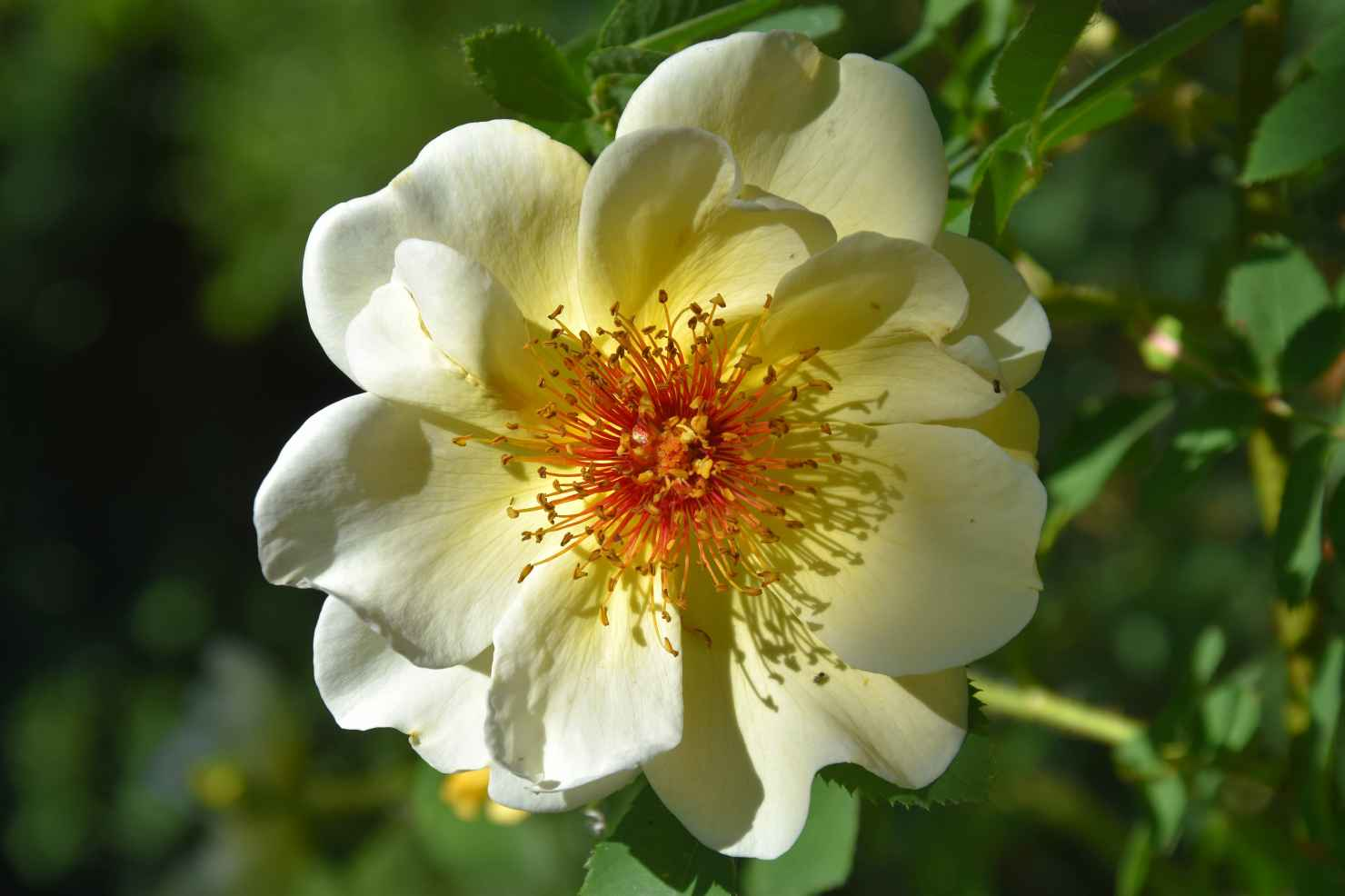 Produktbild på Spinosissima-ros 'Aïcha'